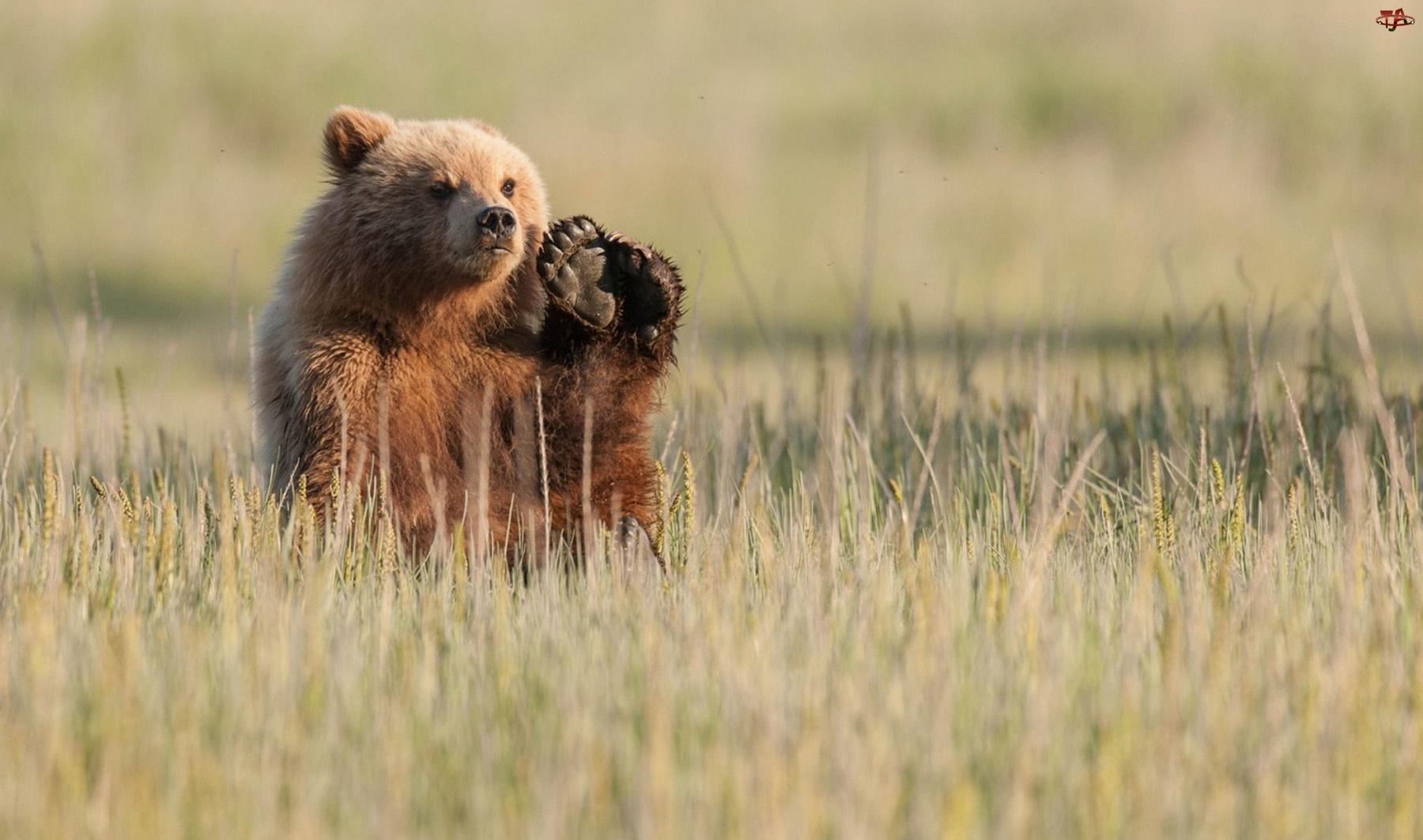 Niedźwiedź, Łapa