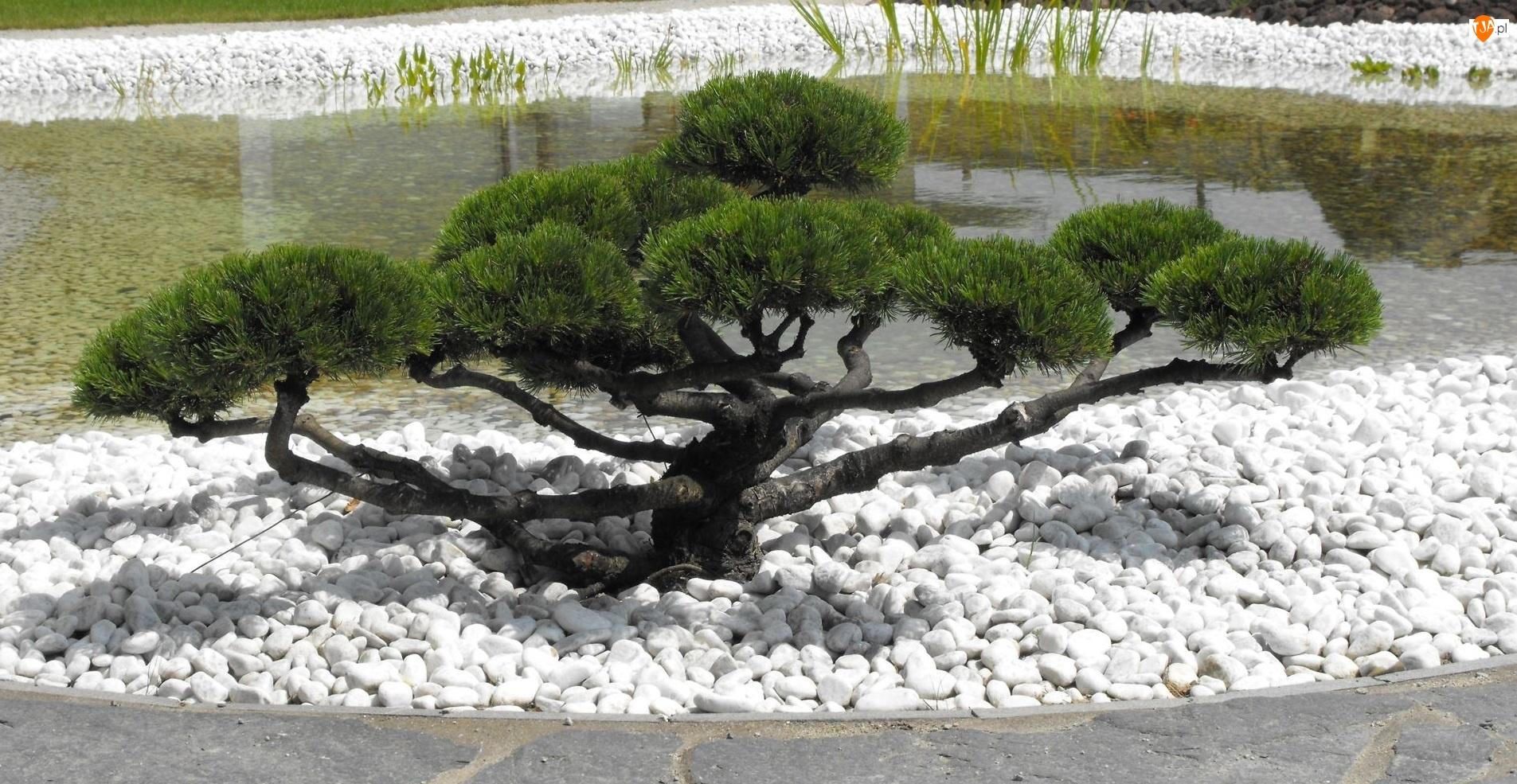 Bonsai, Drzewko