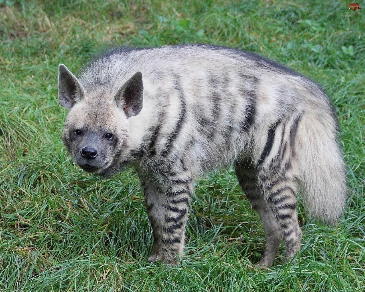 Hiena, Pręgowana
