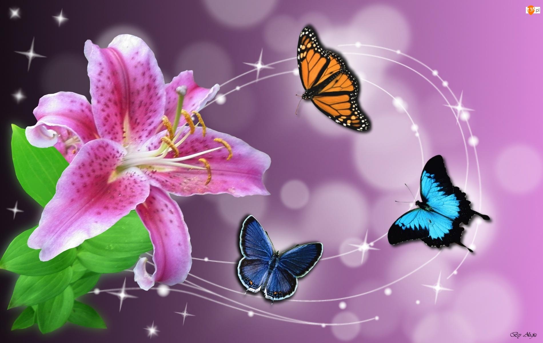 Motyle, Różowa, Lilia