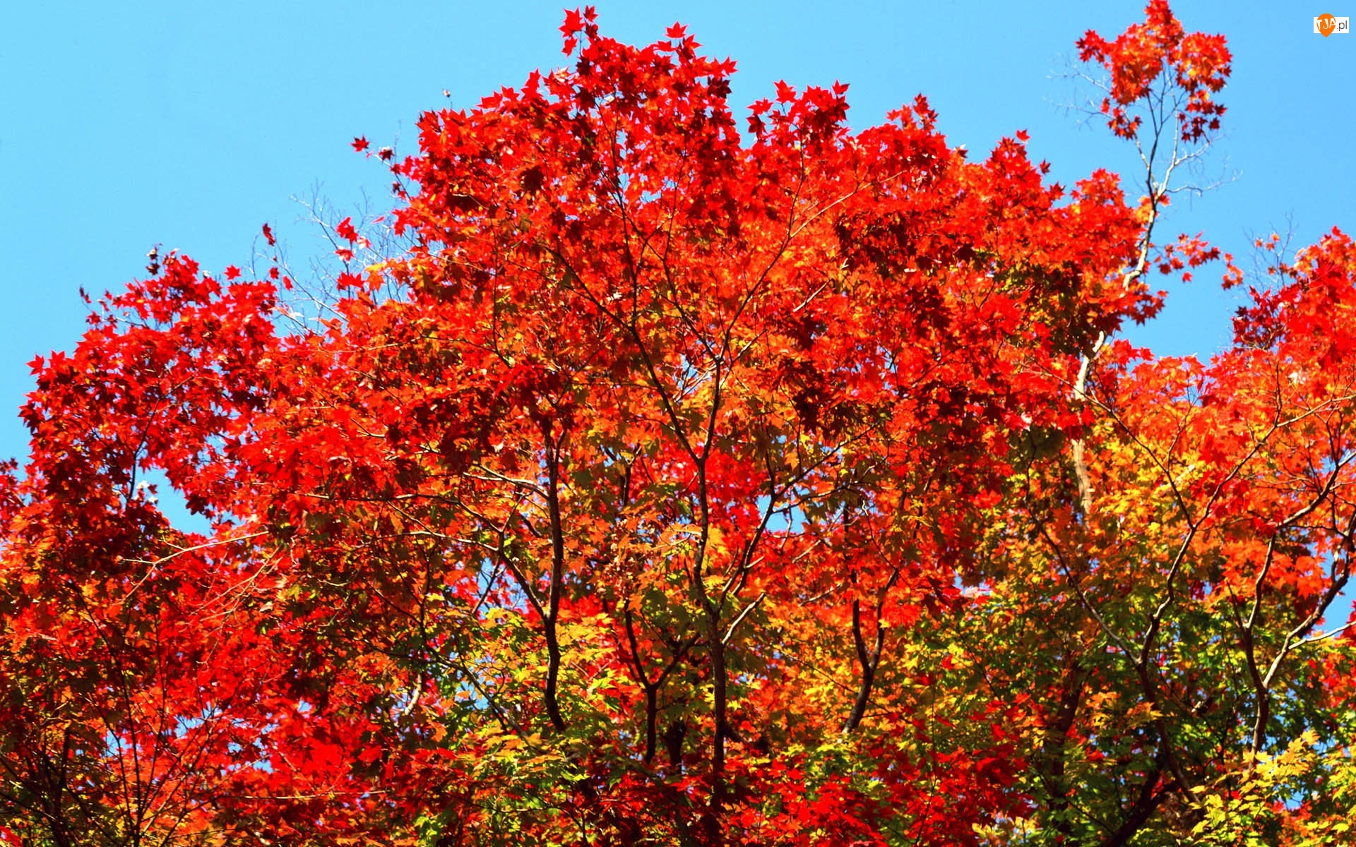 Liście, Drzewa, Czerwone