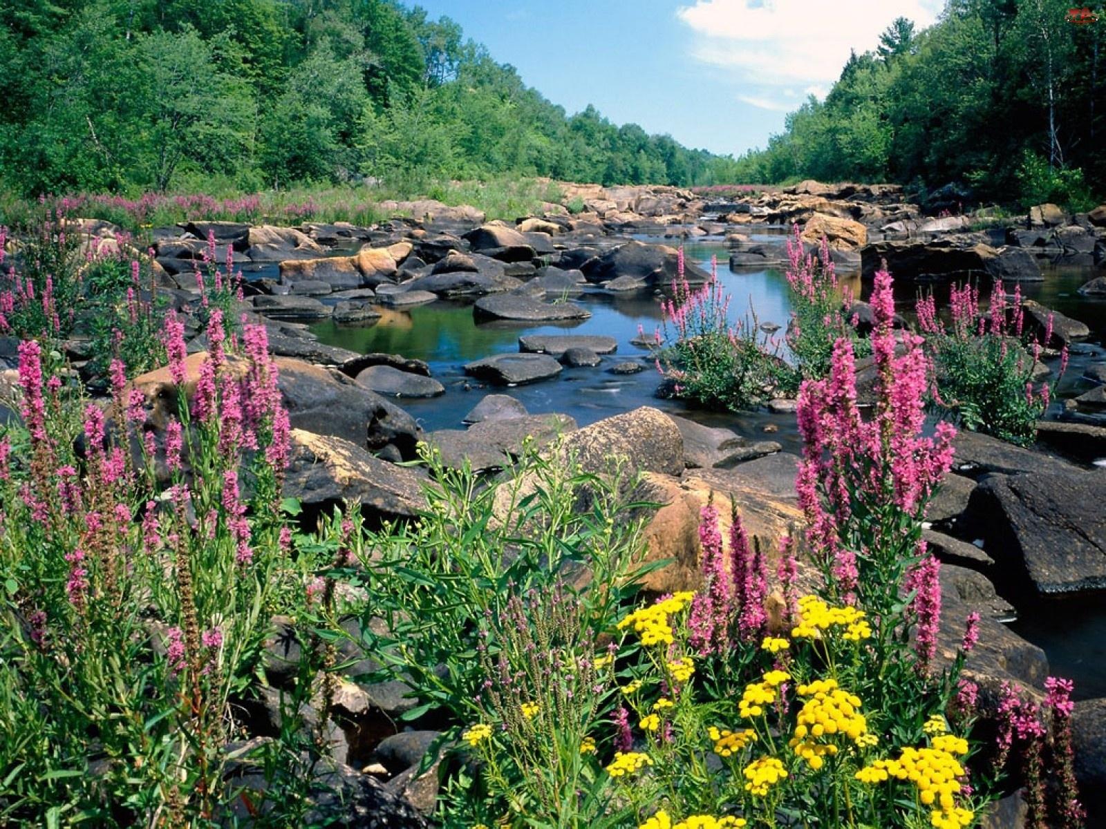 Rzeka, Lasy, Kamienie, Kwiatki