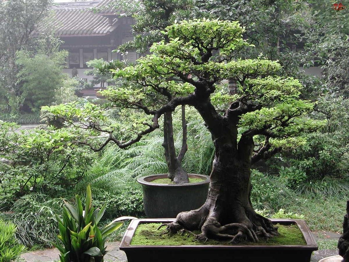Drzewka, Domek, Bonsai, Ogród