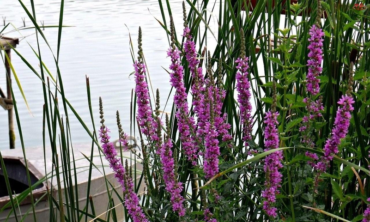 Jezioro, Łódka, Fioletowe, Kwiaty