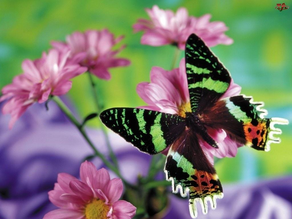 Kwiaty, Piękny, Motyl, Kolorowy, Różowe