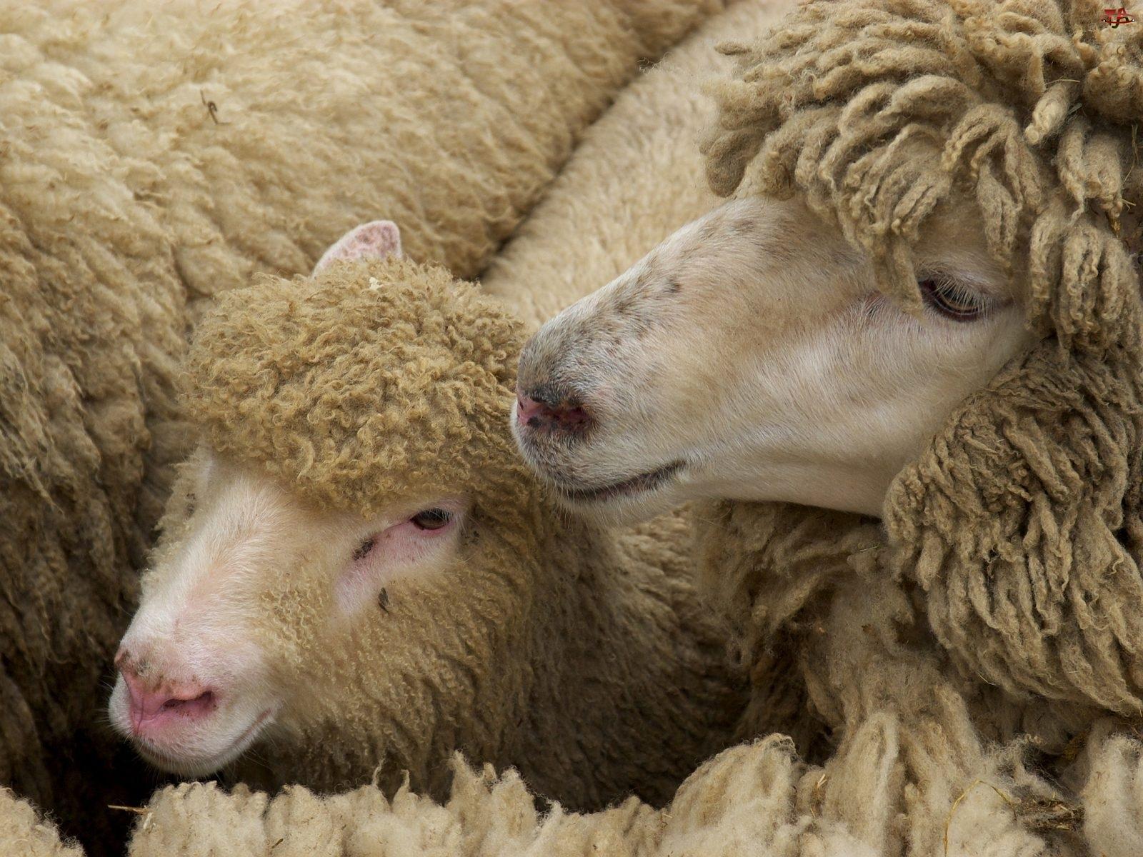 Owce, Wełna, Barany, Runo