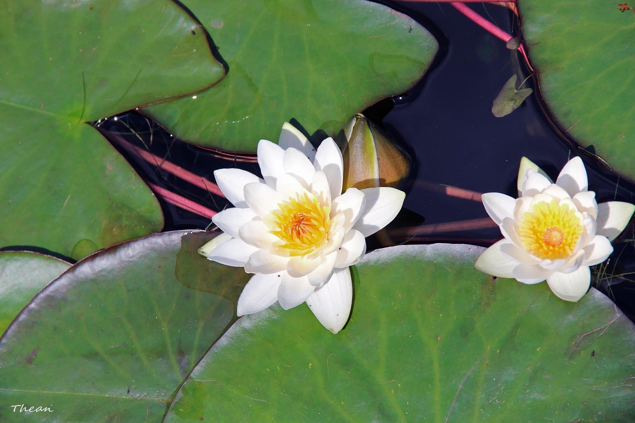 Białe, Lilie, Wodne
