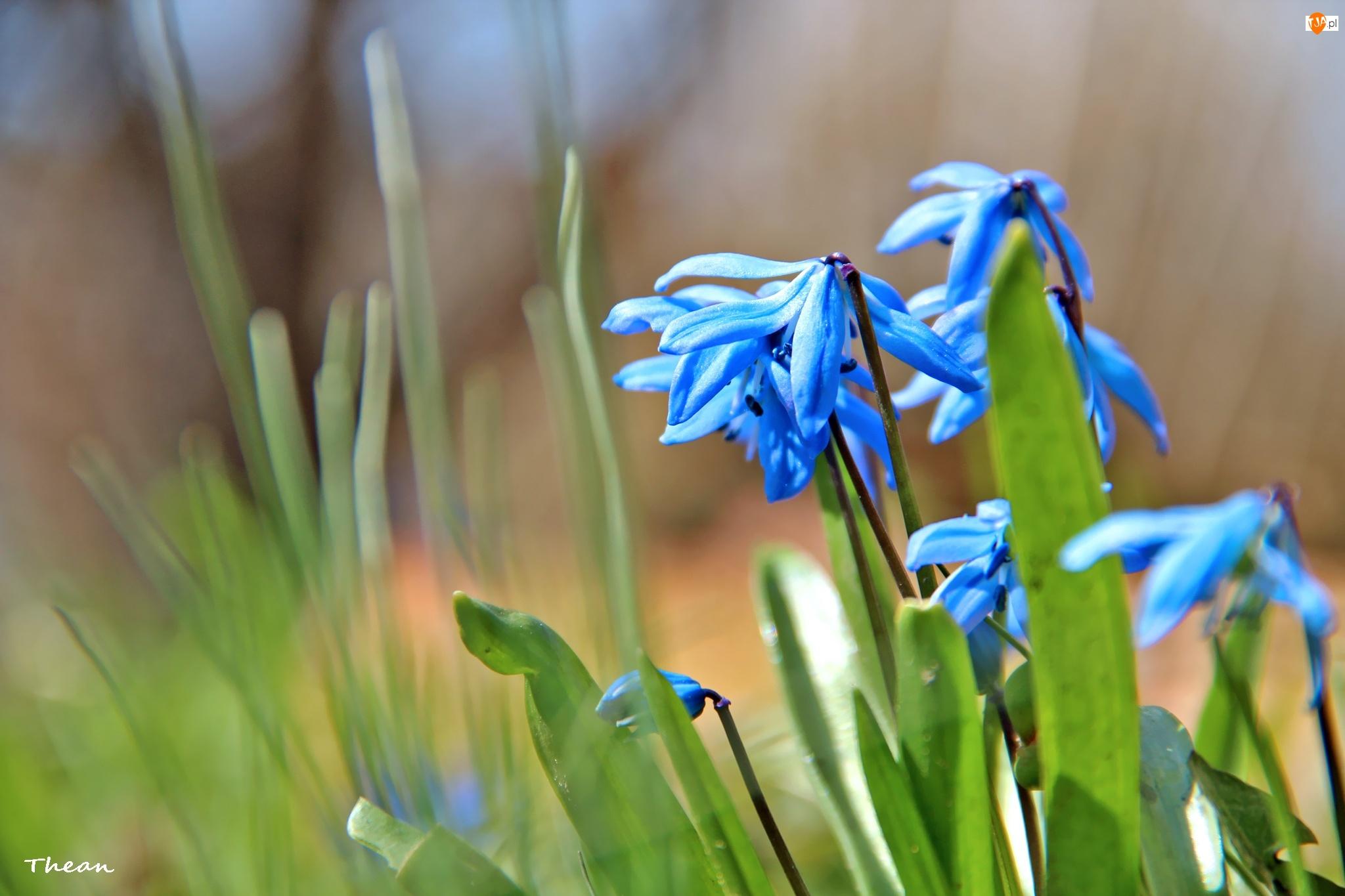 Cebulica Syberyjska, Wiosna, Niebieskie, Kwiaty
