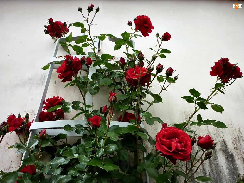 Krzew, Róży, Czerwonej, Pnącej