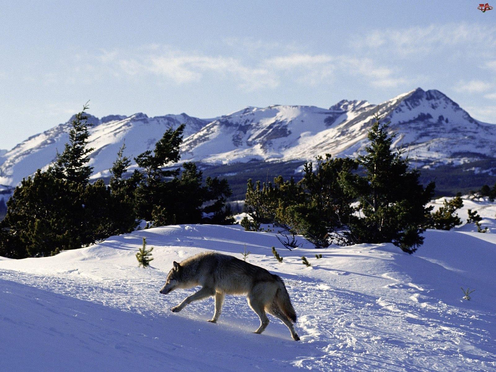 Zima, Wilk, Góry