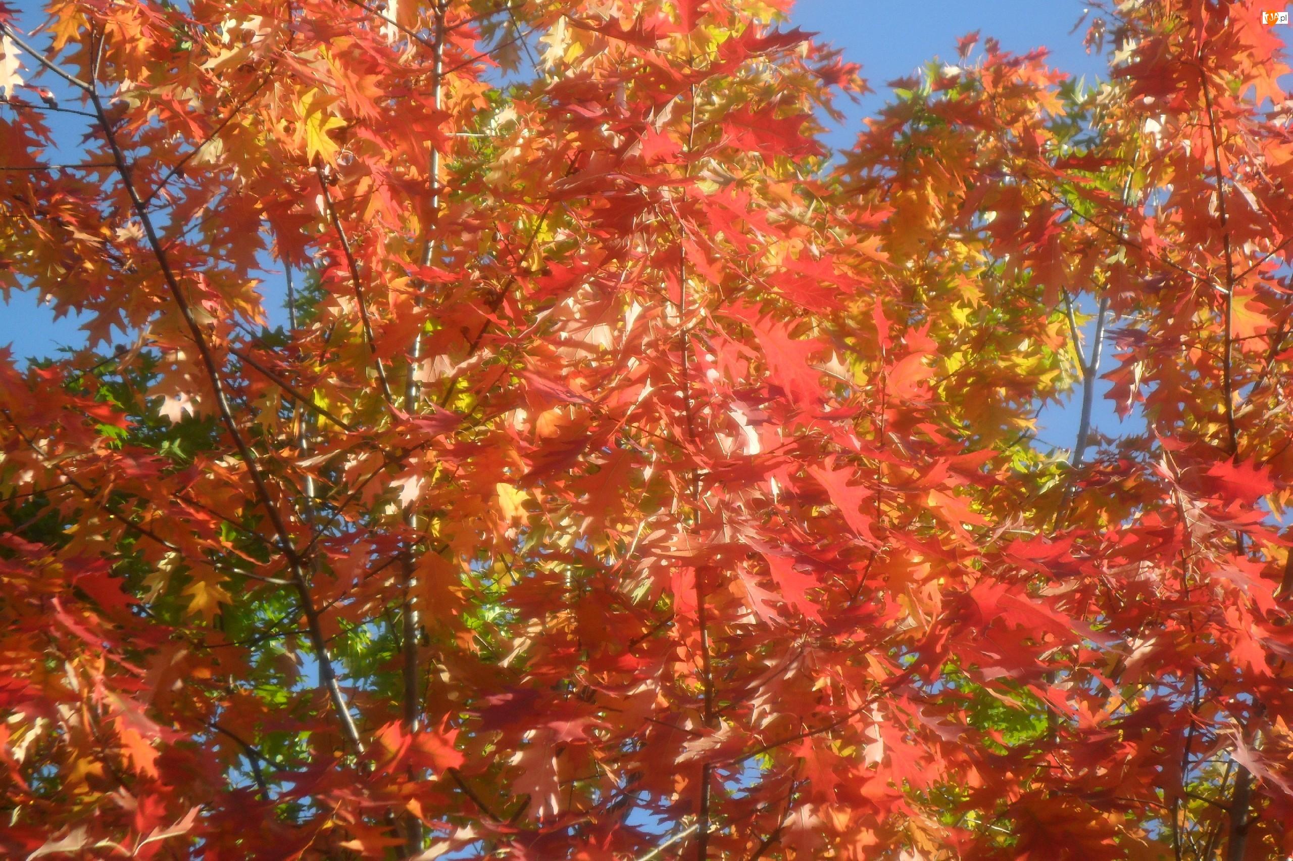 Drzewo, Jesień, Kolorowe, Liście