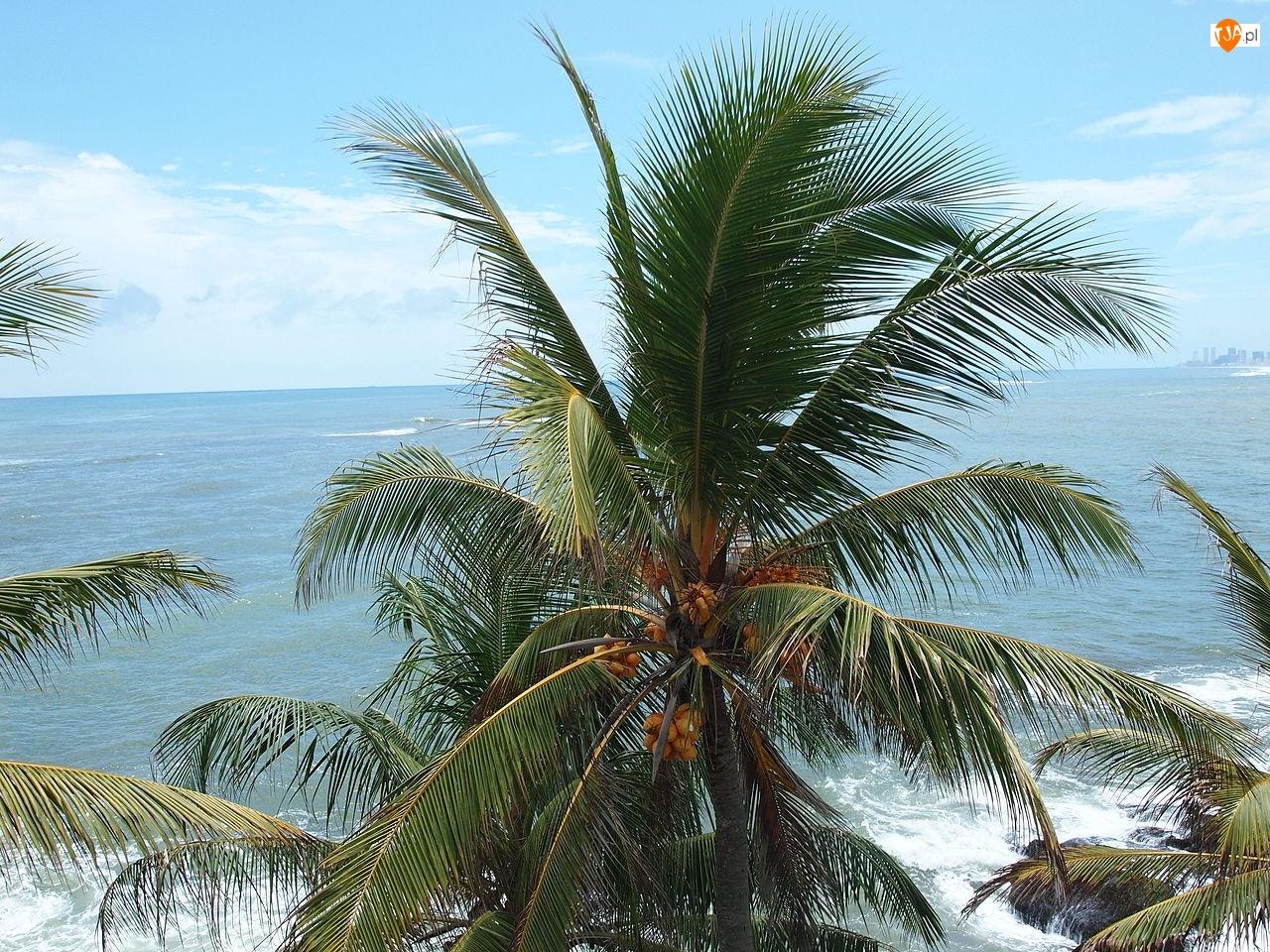 Morze, Palma, Kokosowa