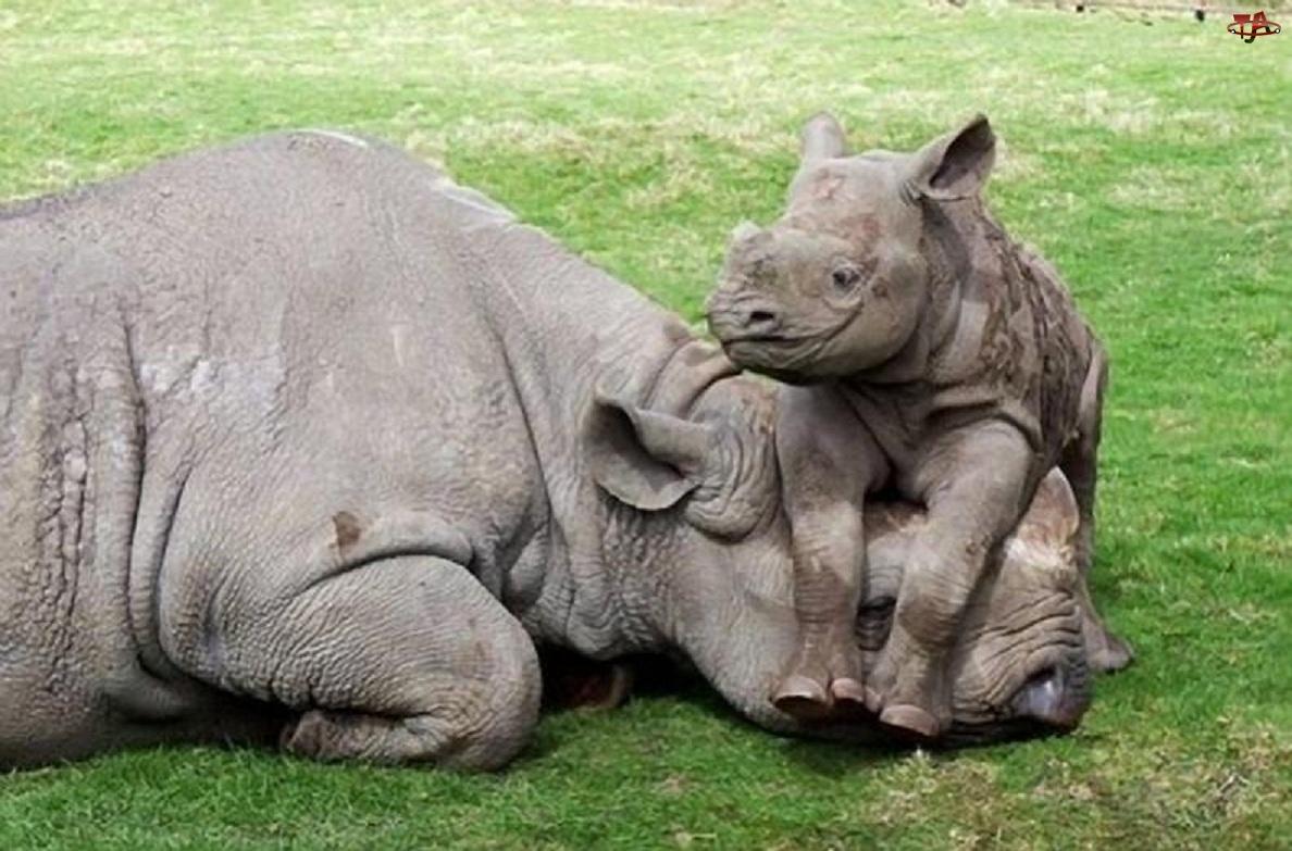 Małe, Mama, Nosorożec