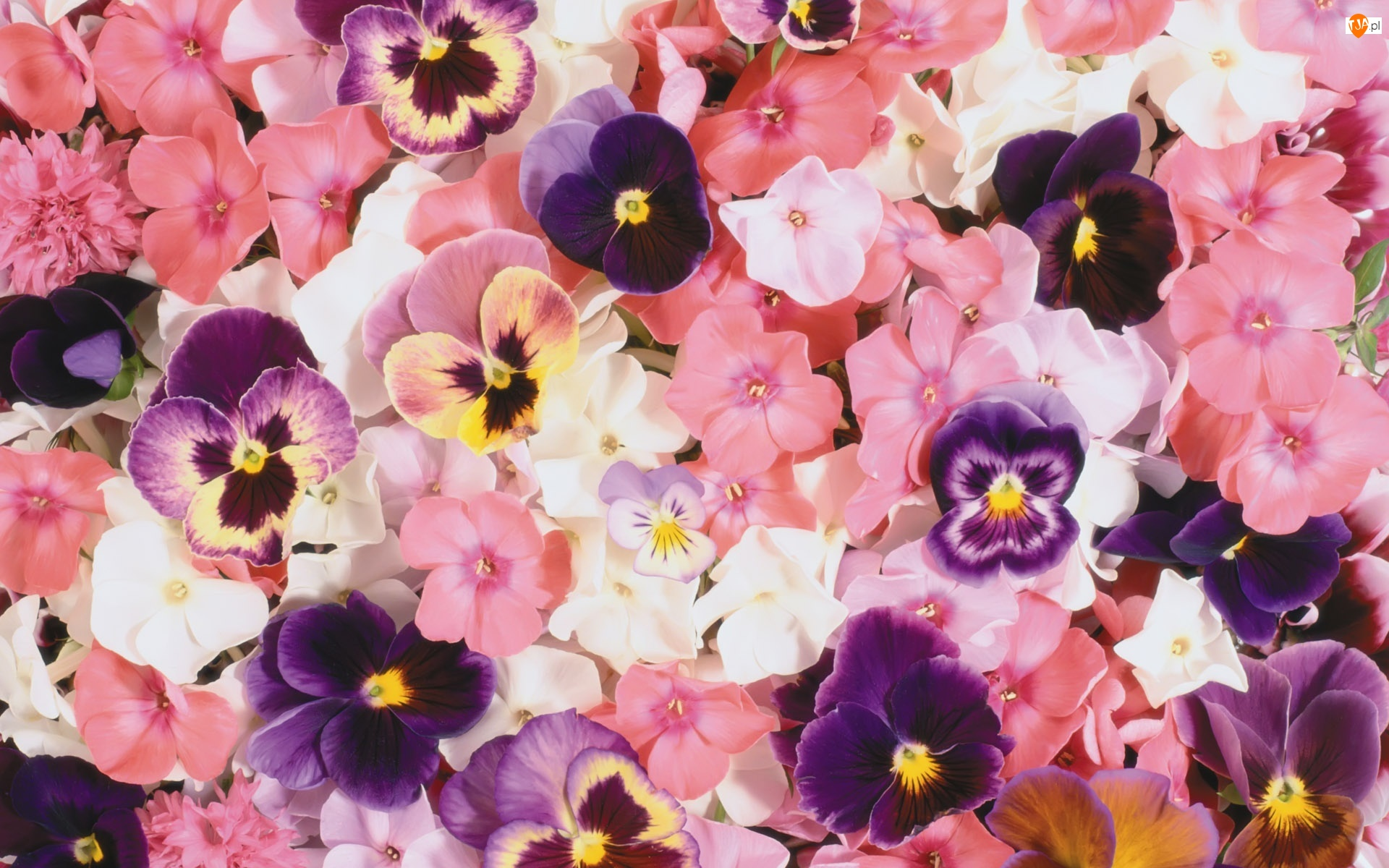 Kolorowe, Floks, Kwiaty, Bratki