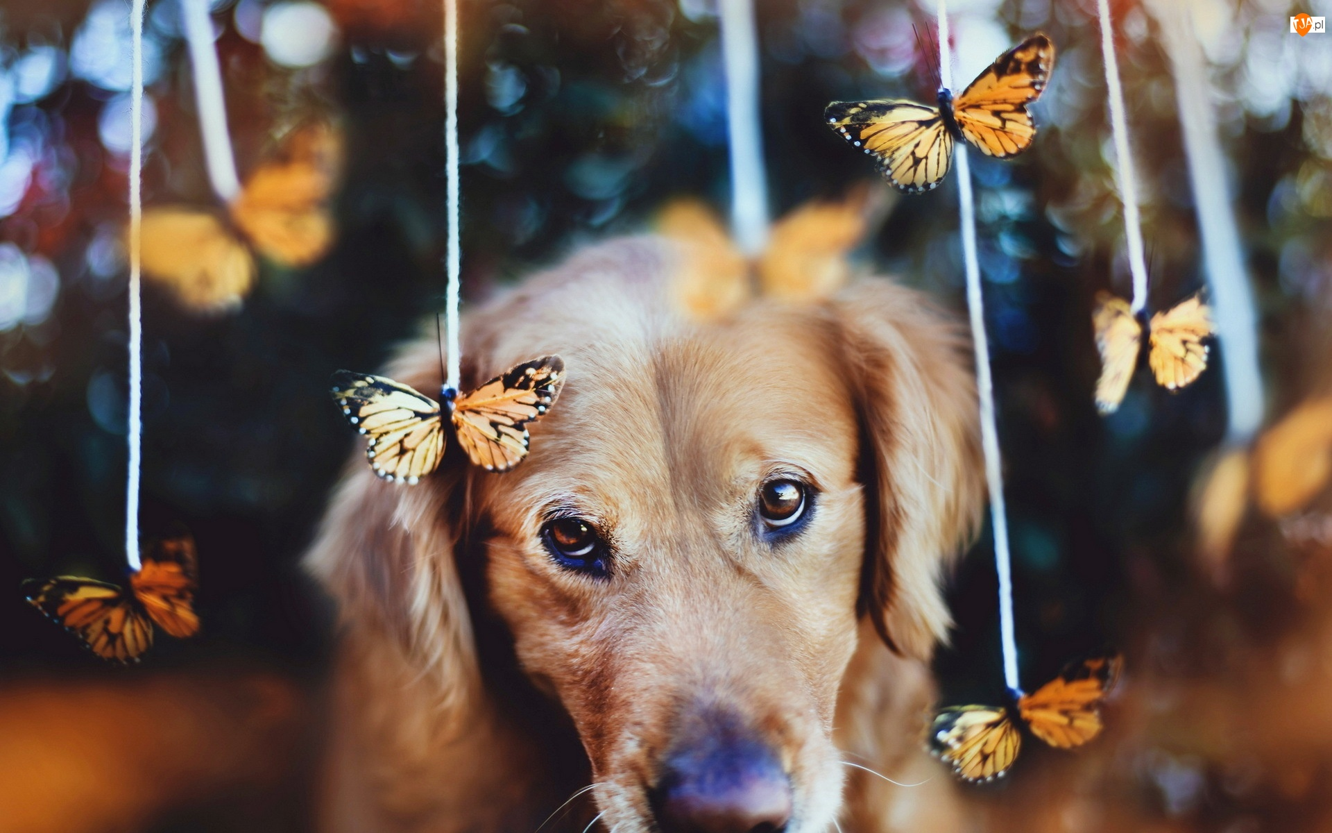 Smutny, Golden Retriever, Pies, Motyle