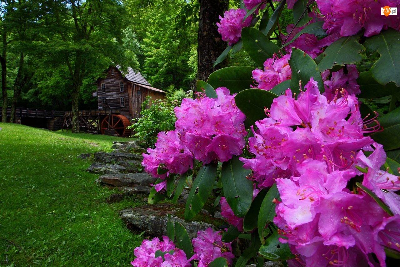 Rododendron, Wiosna, Wodny, Młyn, Kwiaty