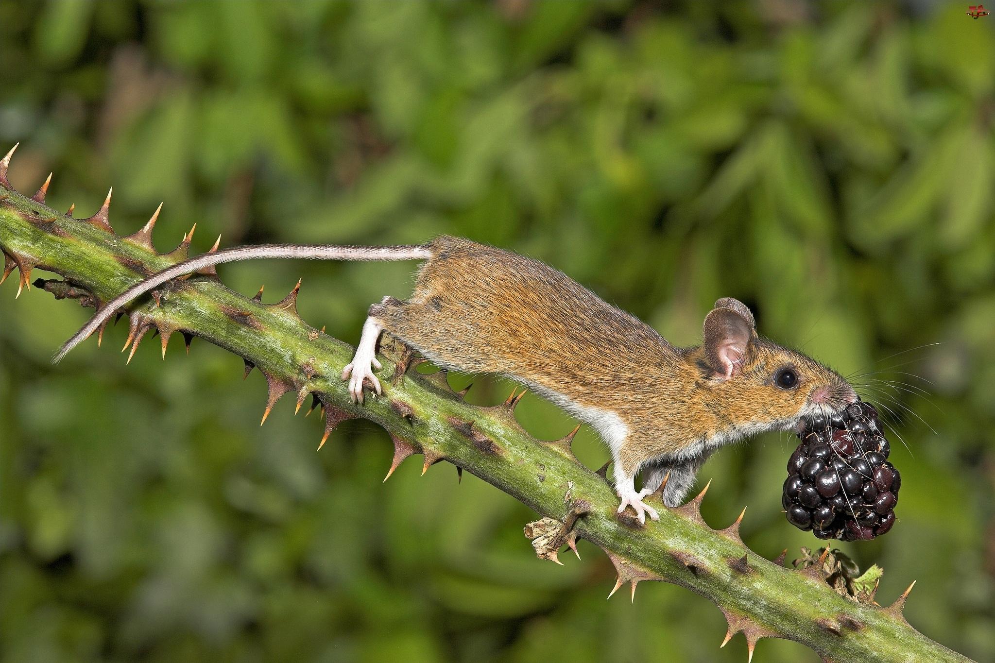 Myszka, Jeżyna
