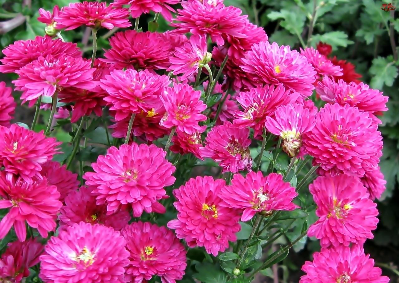 Różowe, Chryzantemy