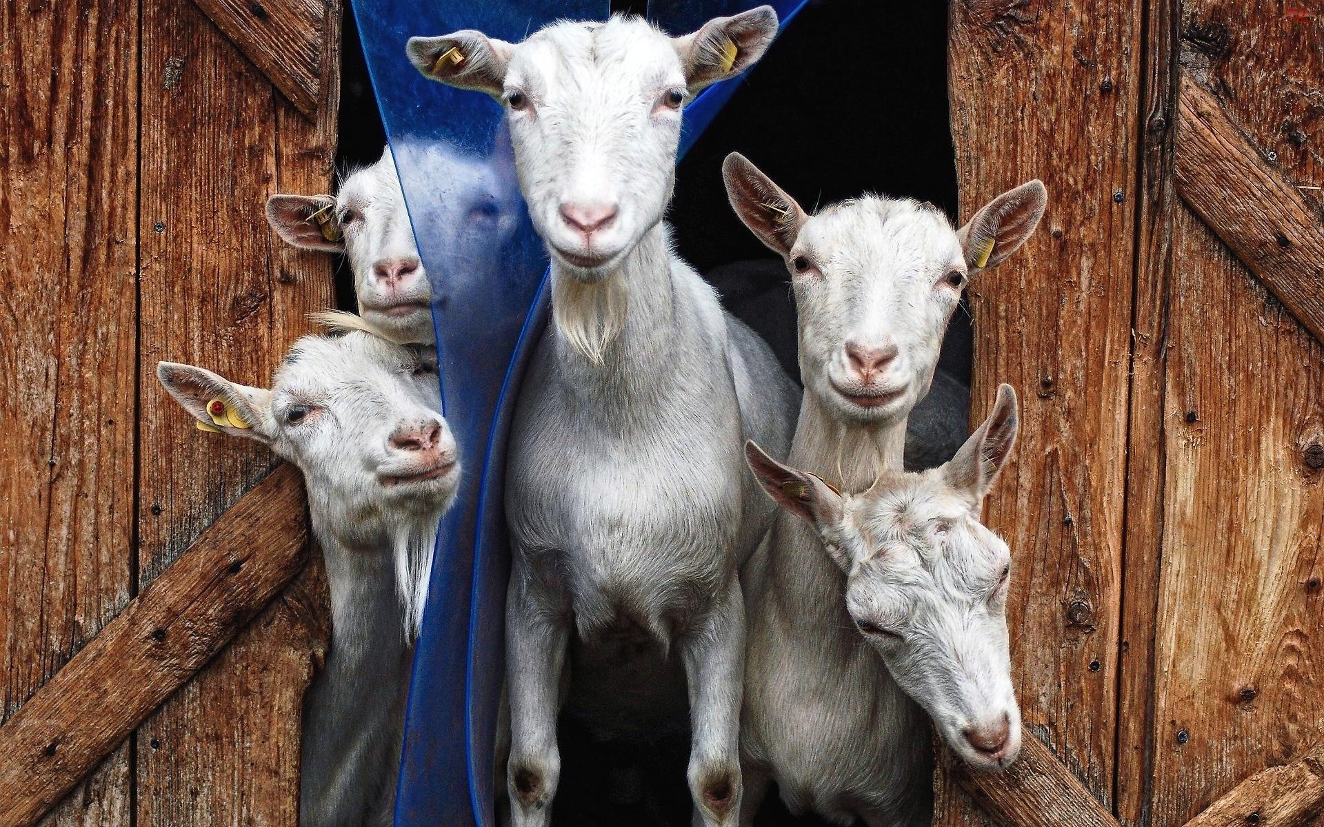 Stadko, Białe, Kozy