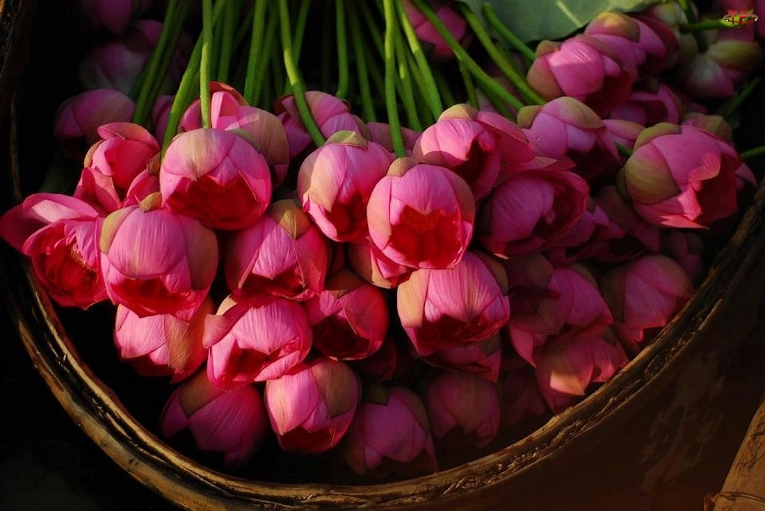 Tulipany, W Koszyku