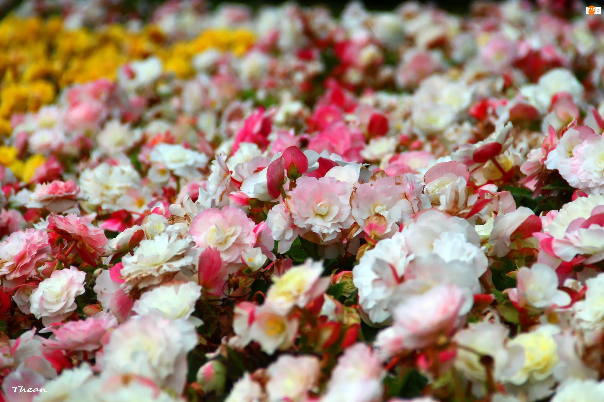 Kwiaty, Rabatowe