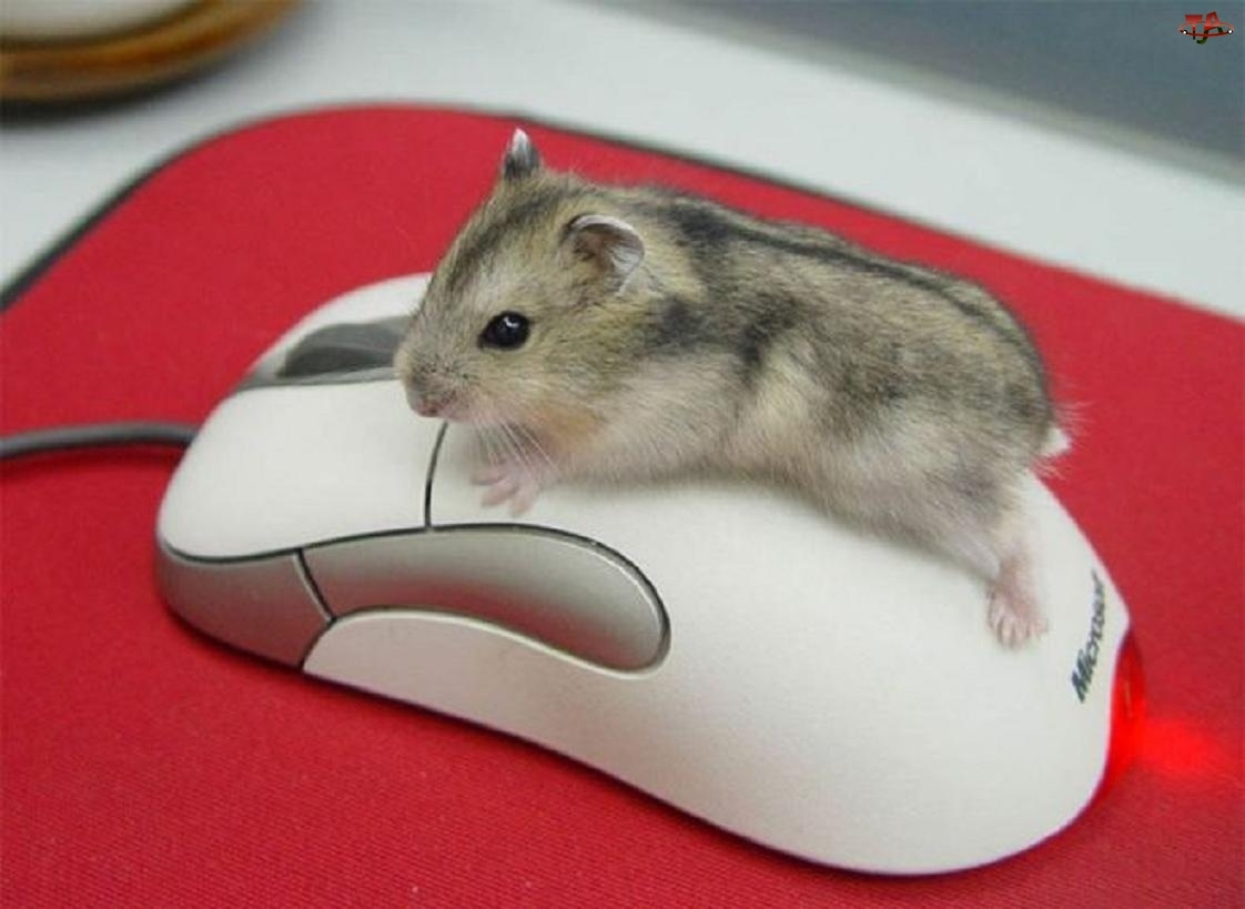 Komputerowa, Chomik, Myszka