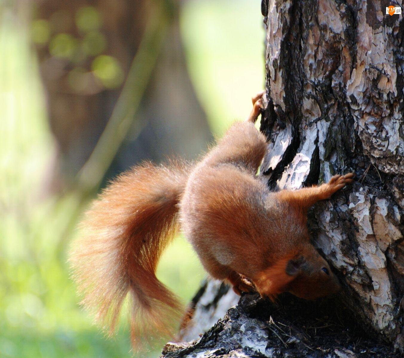 Wiewiórki, Puszysty, Ogon