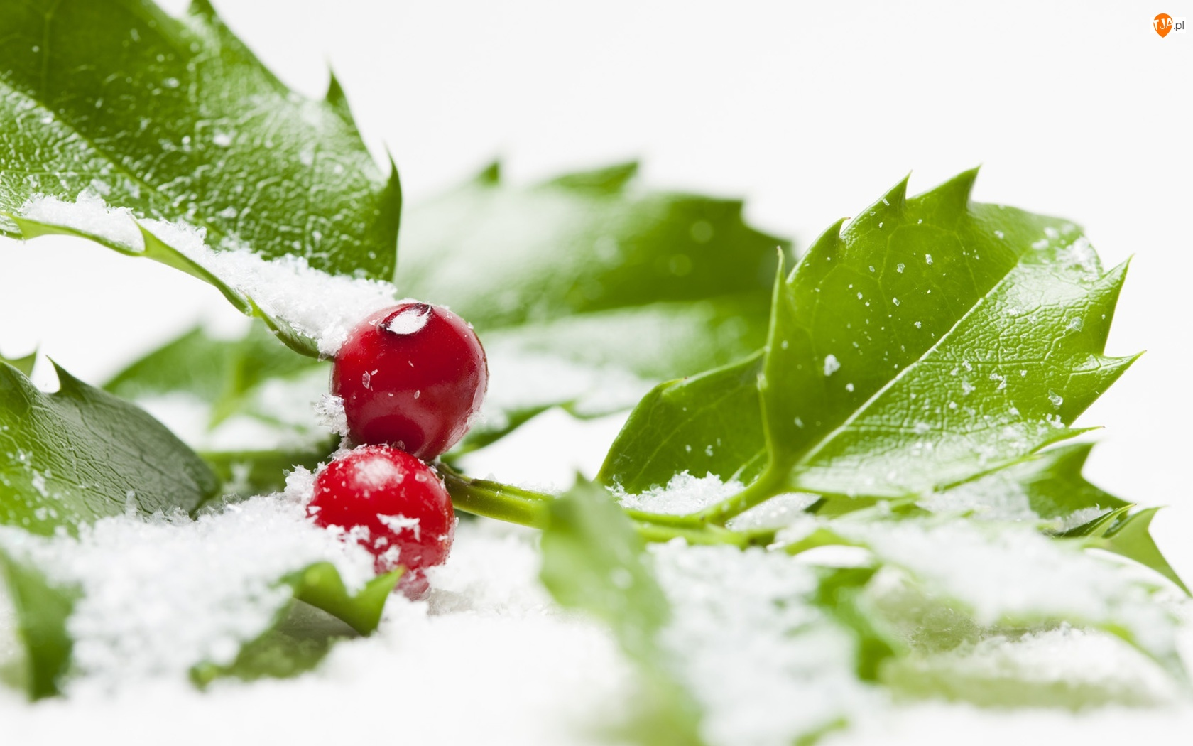 Śnieg, Jagody, Ostrokrzewu