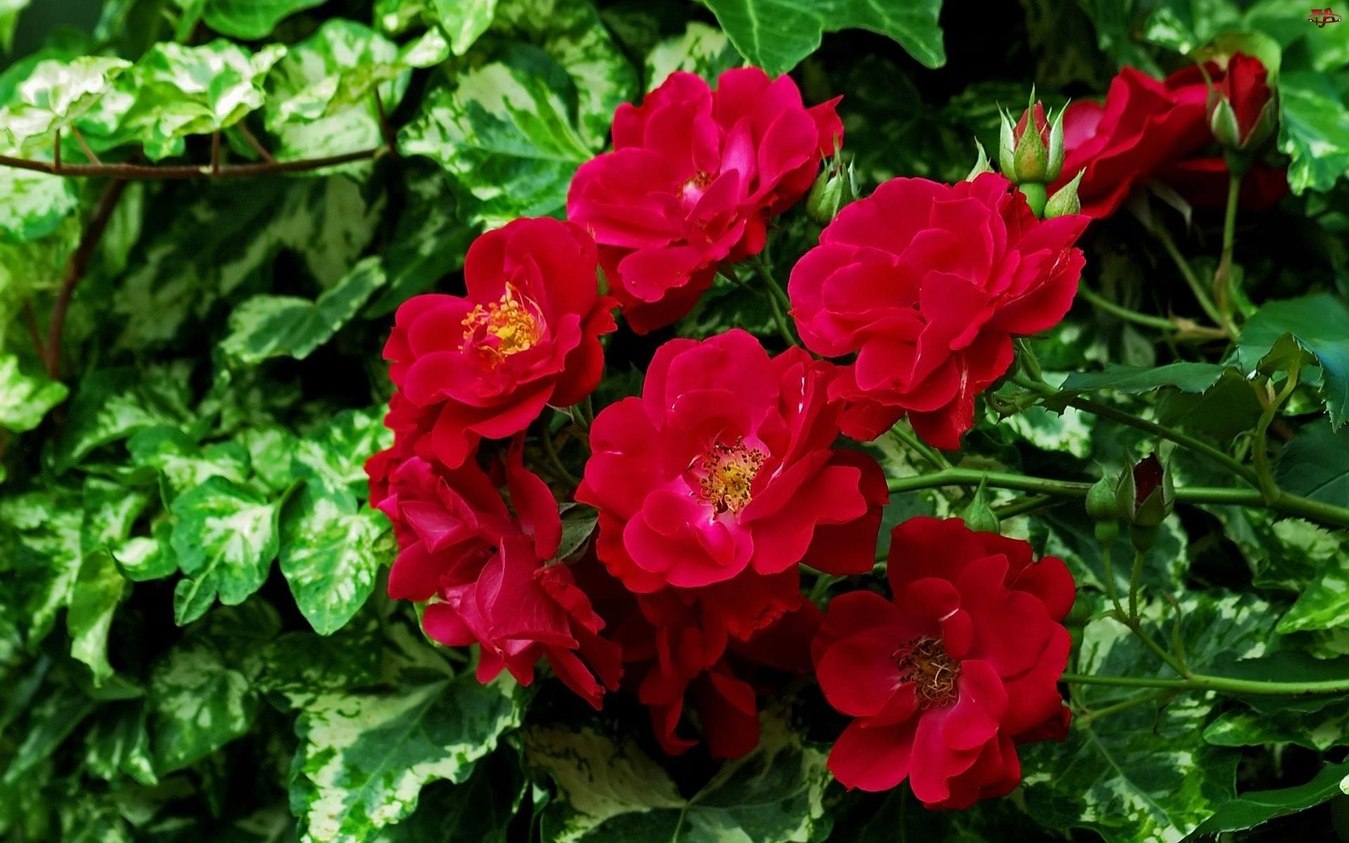 Czerwone, Kwiaty, Balkonowe