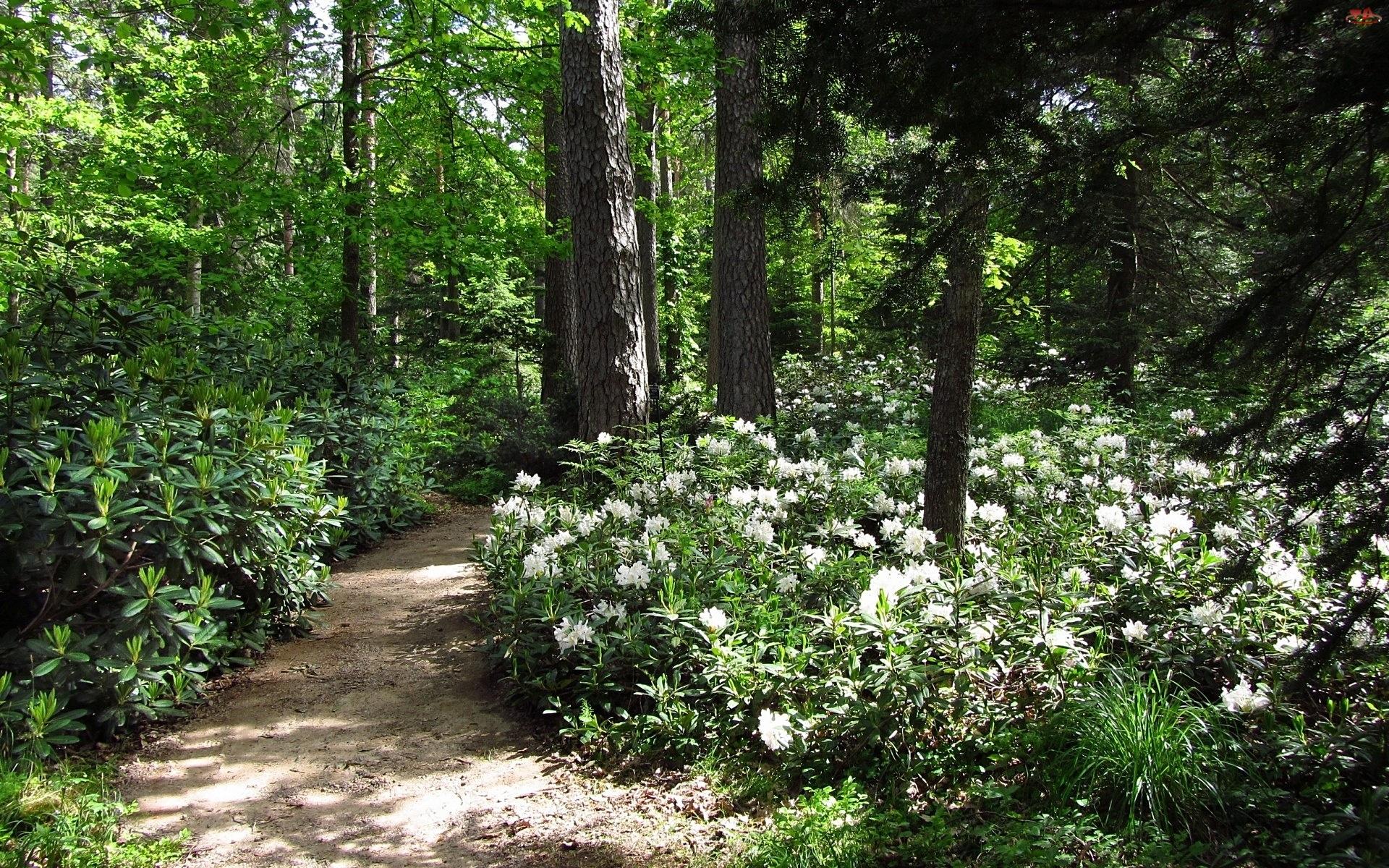 Rododendrony, Dróżka, Las