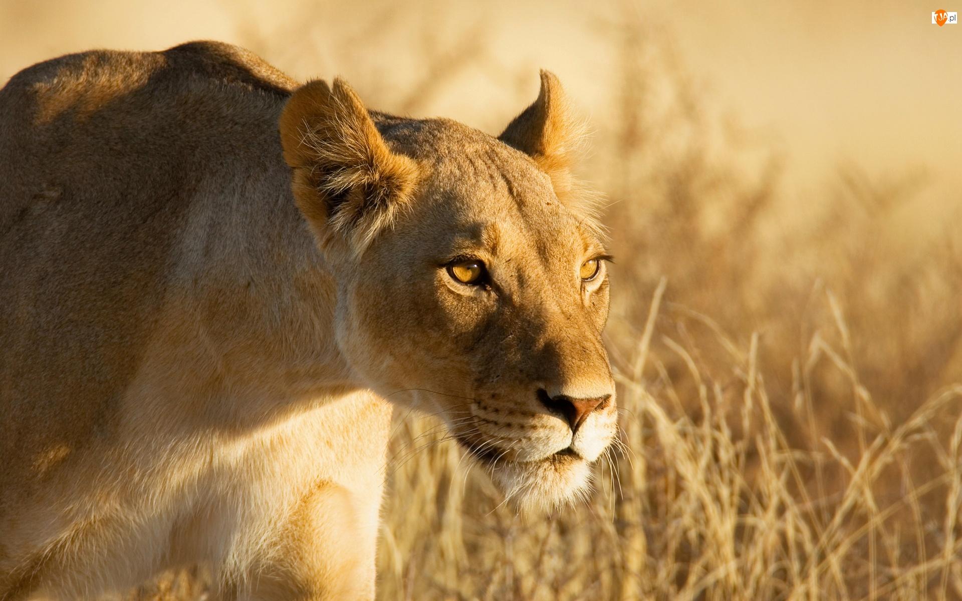 Lwica, Afryka