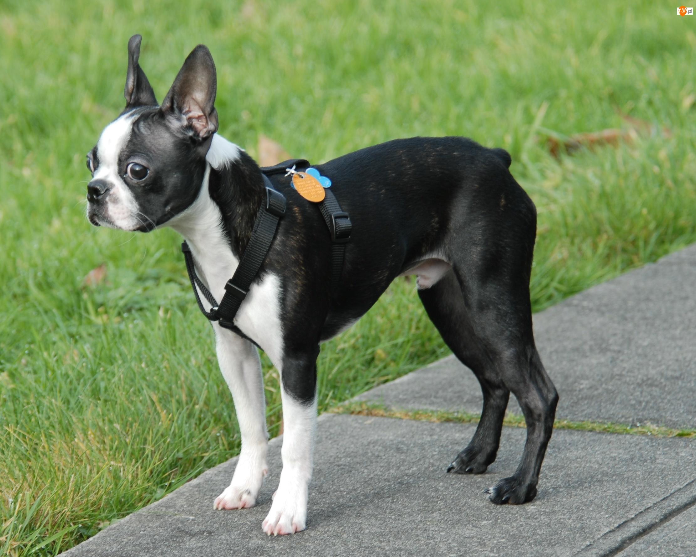 Trawa, Boston terrier, Chodnik