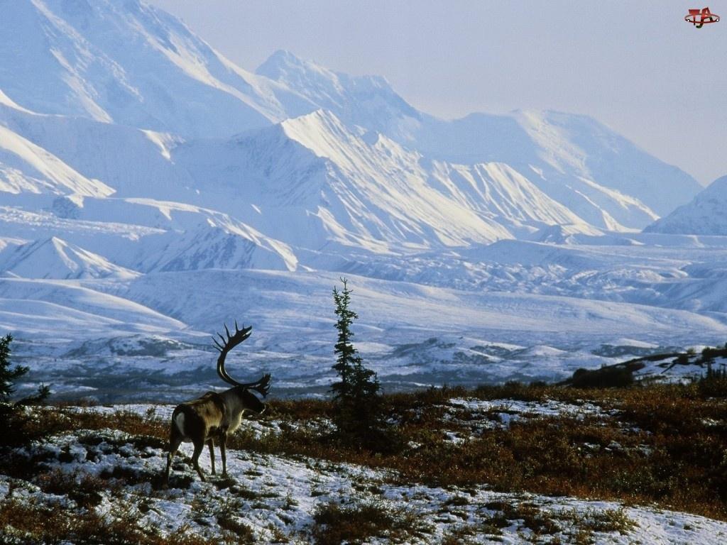 Alaska, Renifer, Góry, Ośnieżone, Zima