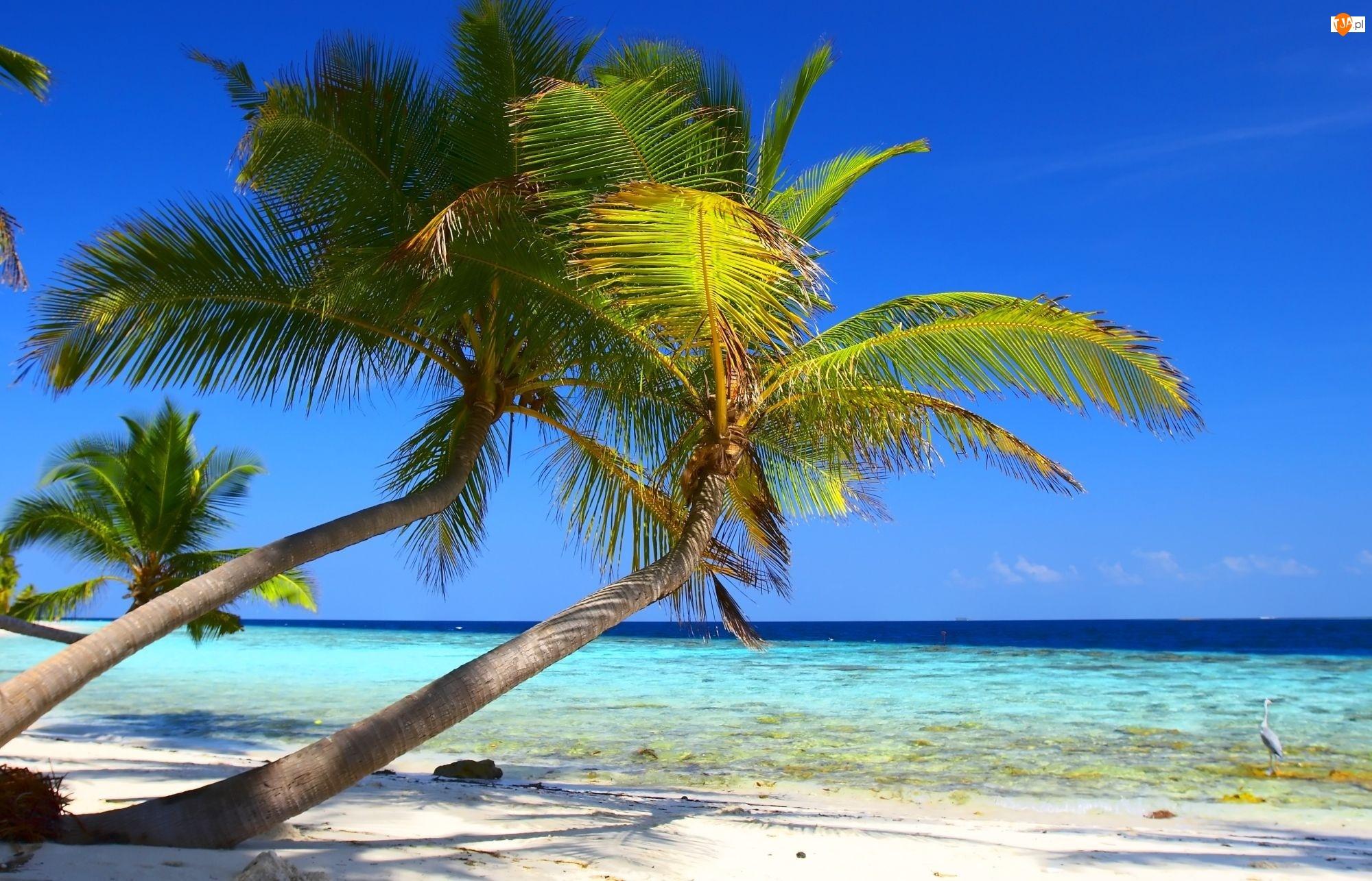 Plaża, Pochyłe, Kokosowe, Palmy, Niebo