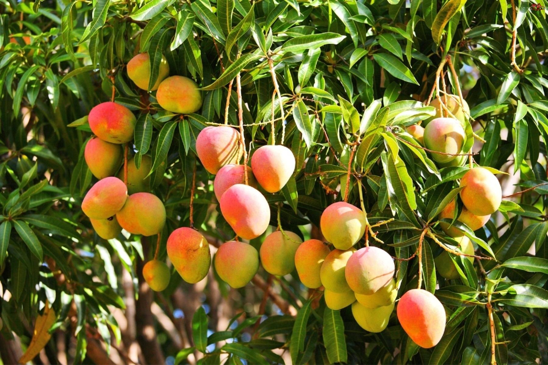 Drzewie, Mango, Na