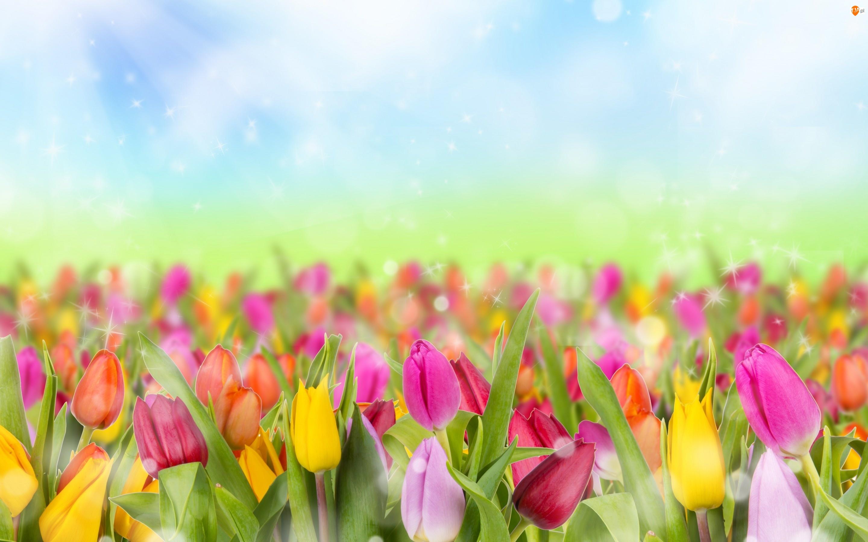 Bokrh, Kolorowe, Tulipany