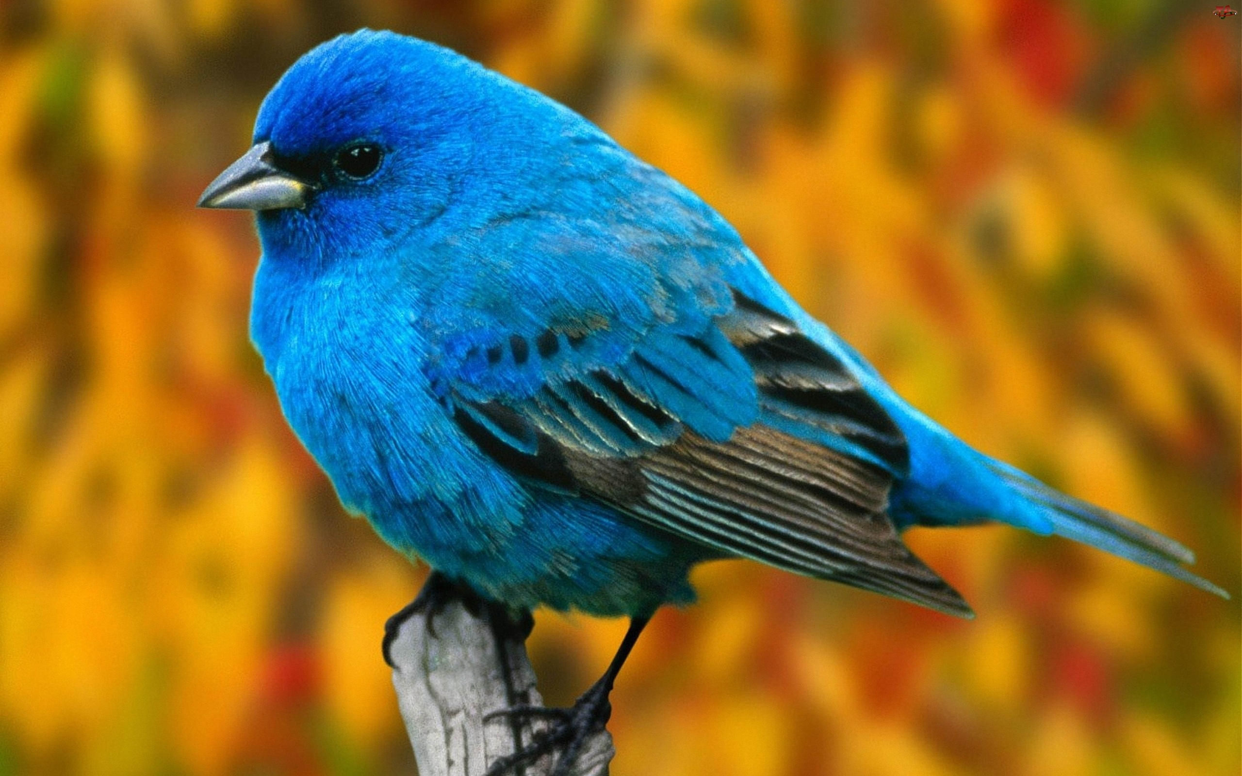 Niebieski, Ptaszek