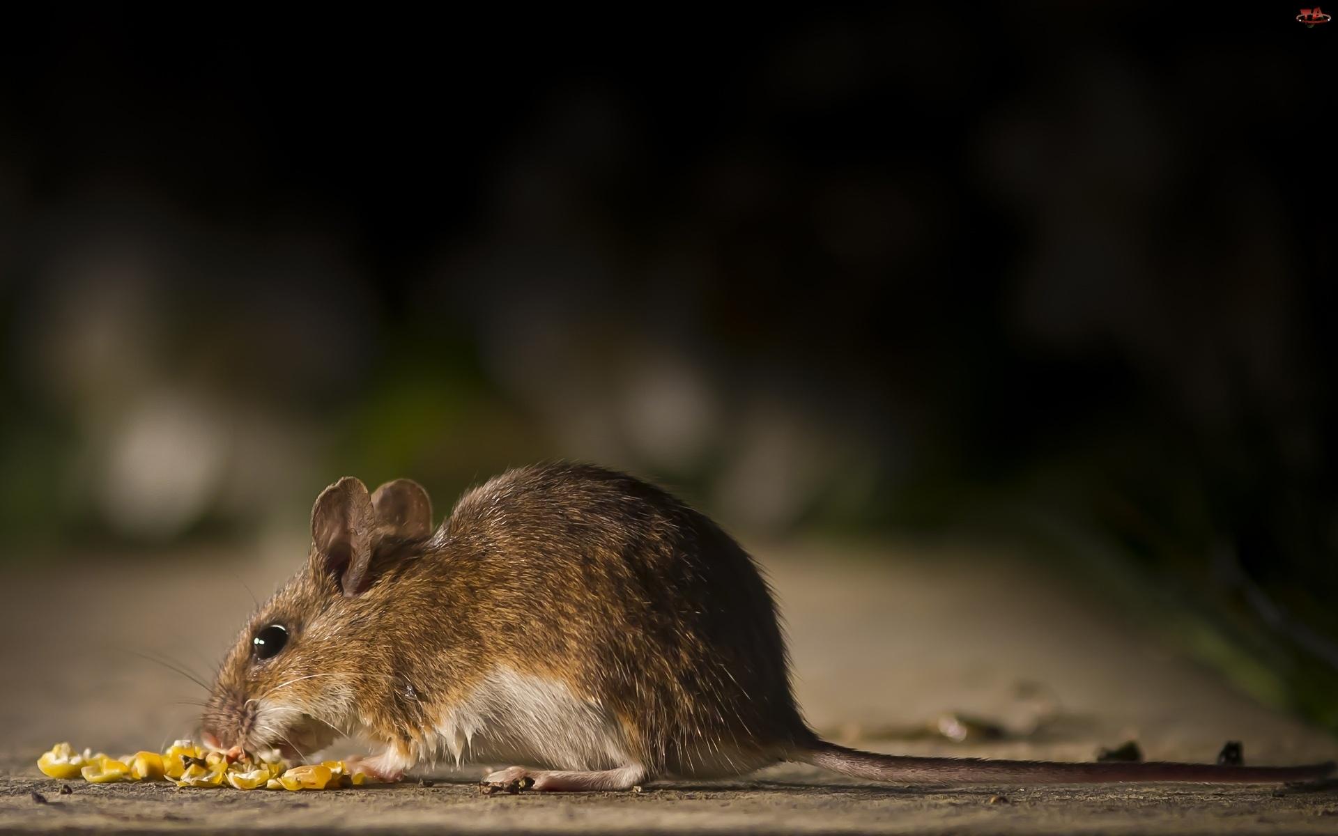 Myszka, Mała, Polna