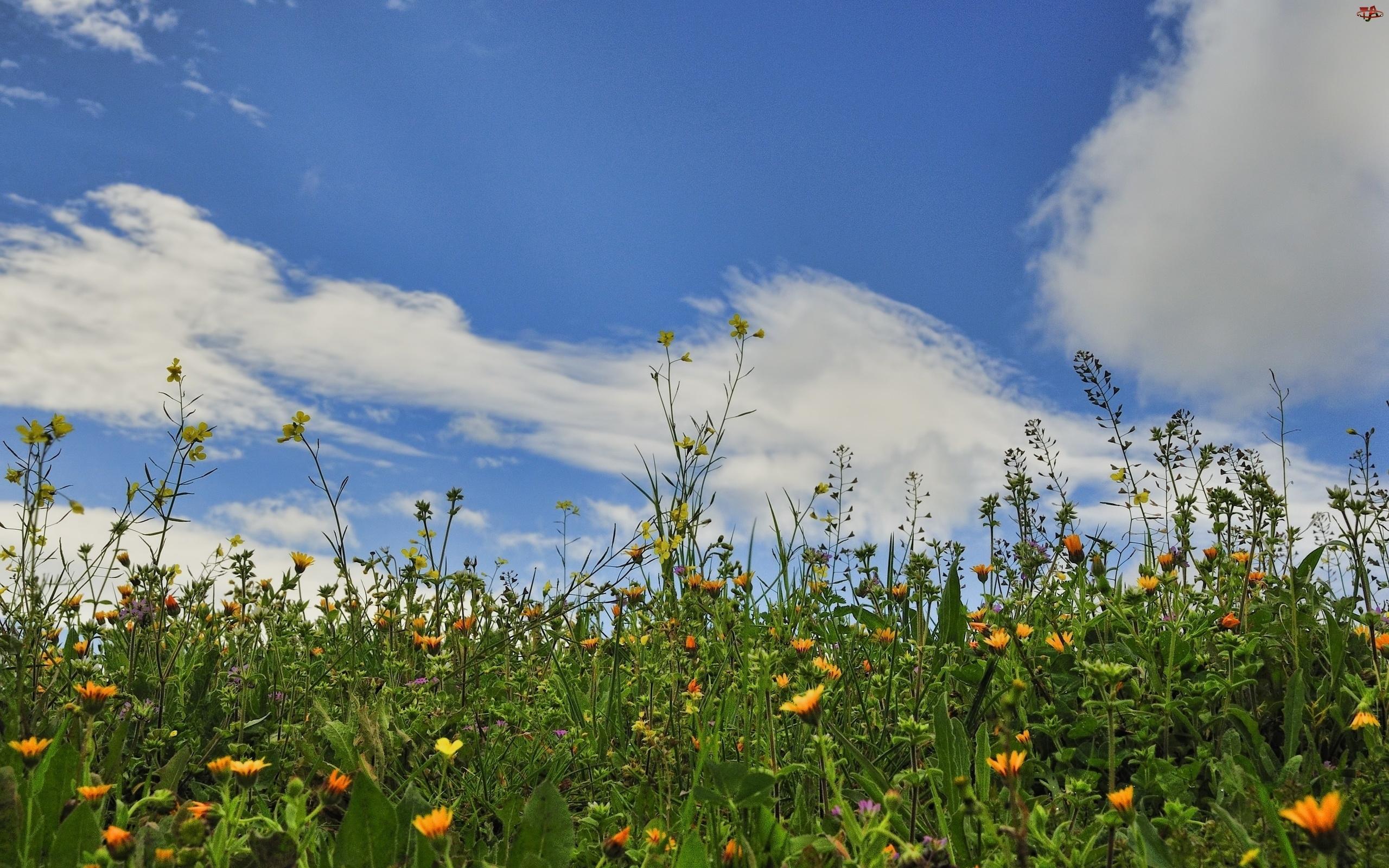 Łąka, Niebo, Kwiatki, Trawy