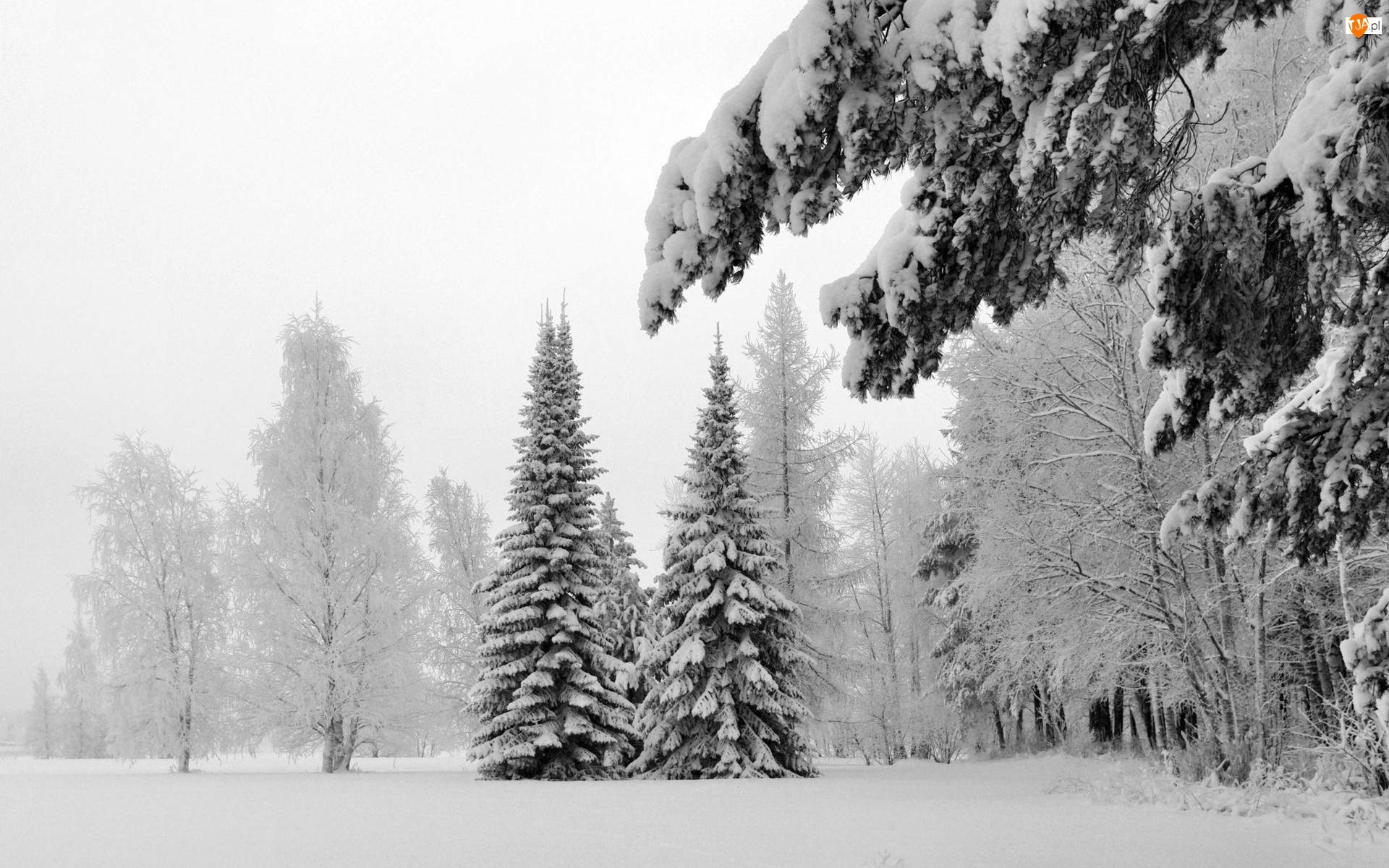 Poranek, Las, Drzewa, Ośnieżone, Mrozny