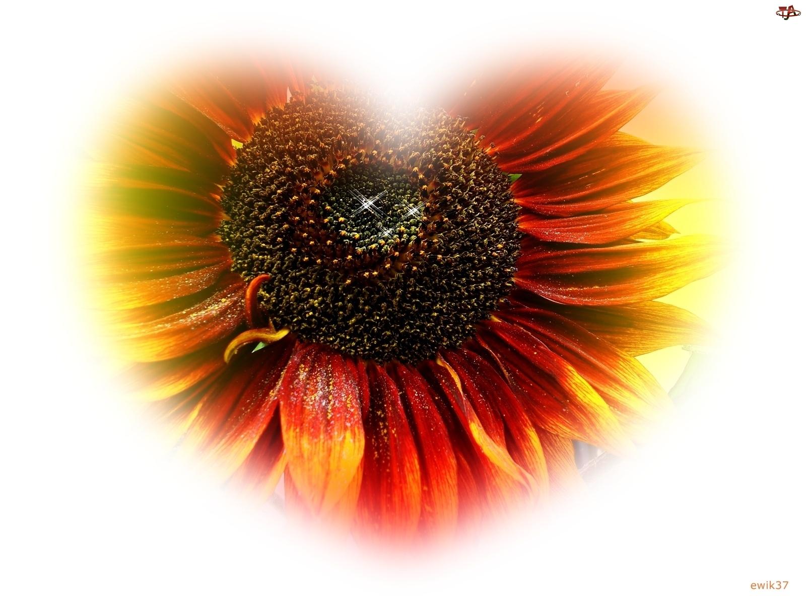 Serce, Słonecznik