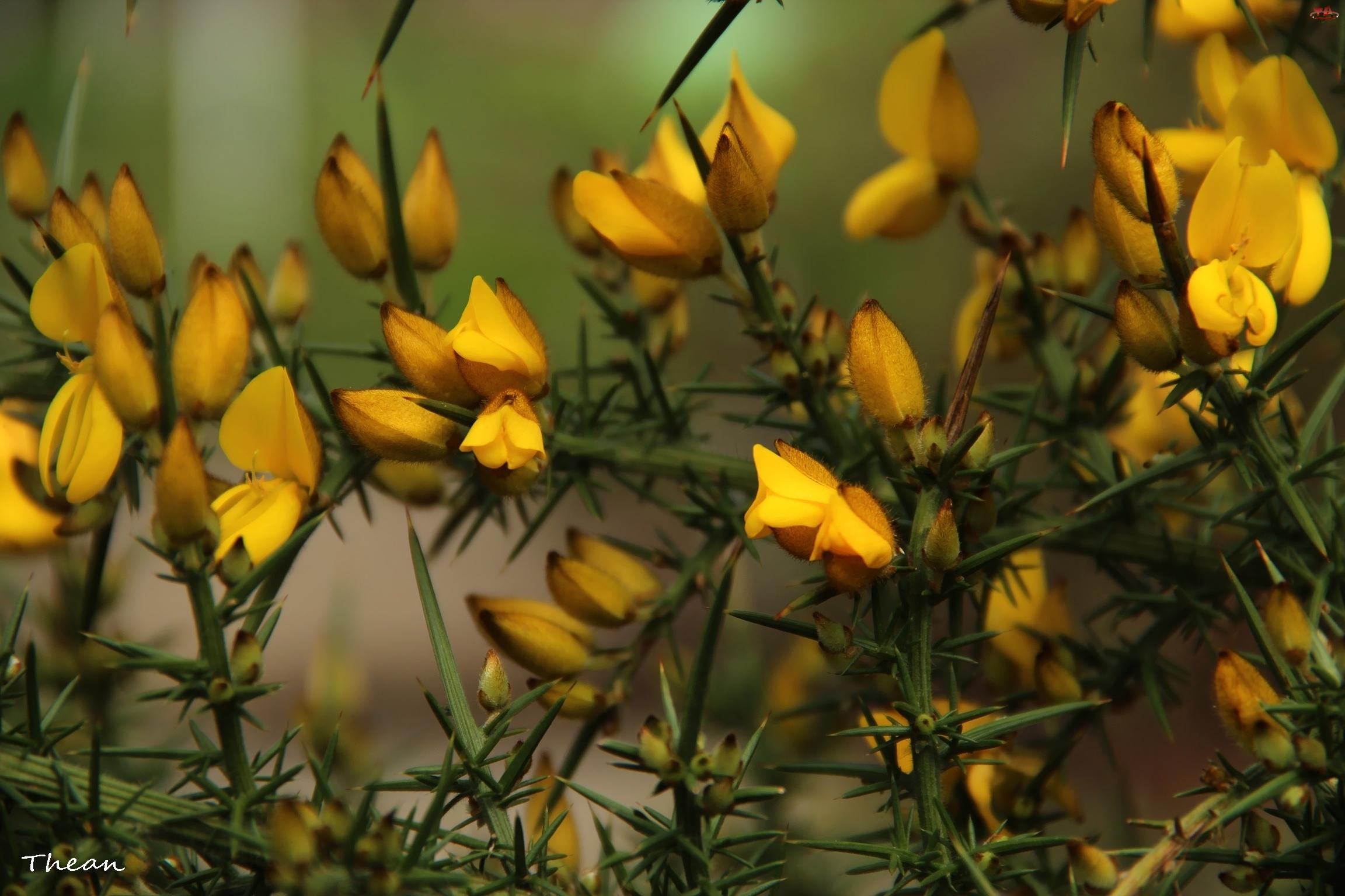 Krzew, Żółte, Kwiatki