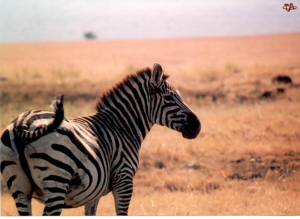 trawy, Zebra, sawanna