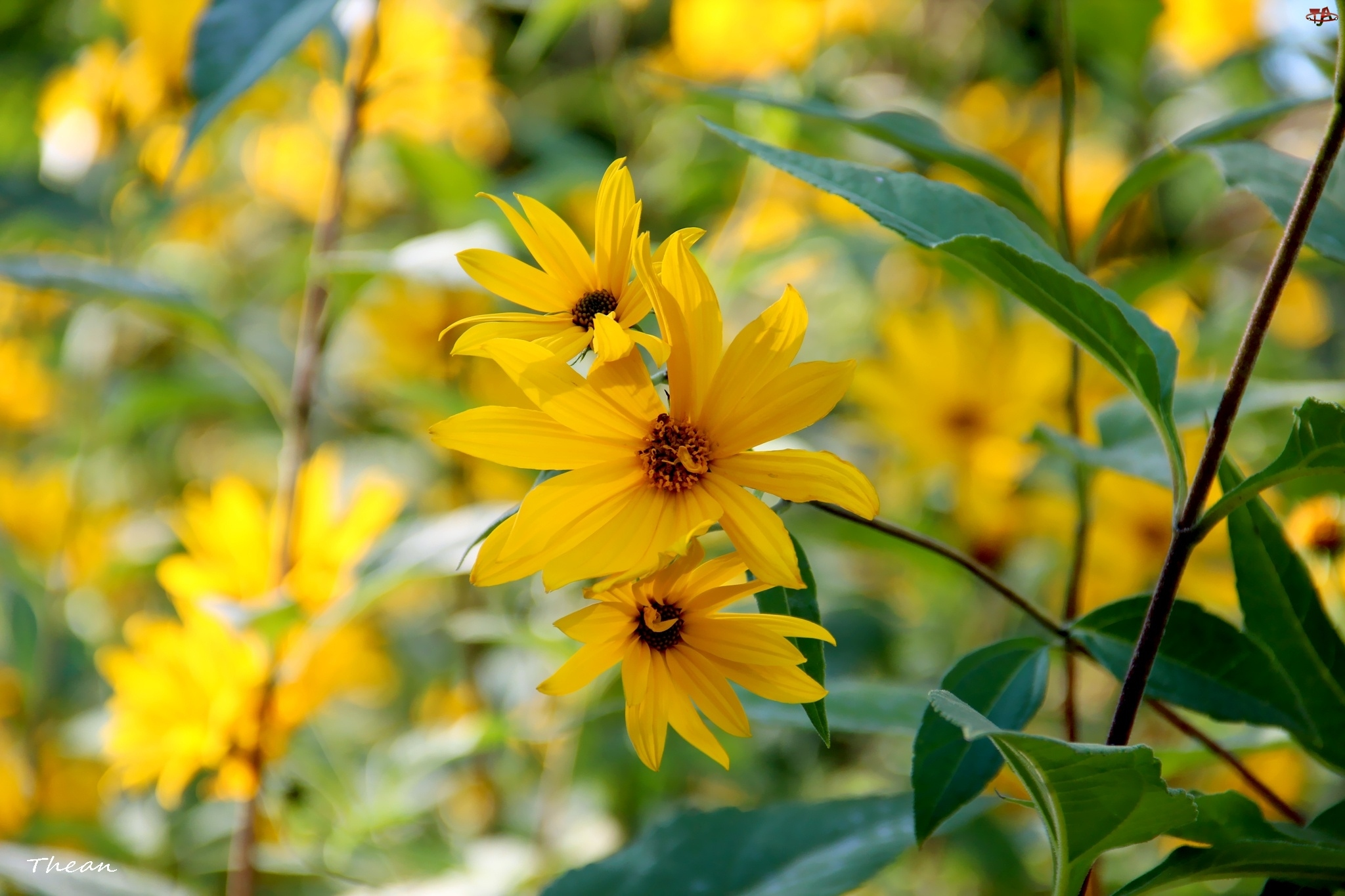 Szorstki, Żółte, Kwiaty, Słoneczne, Słoneczniczek