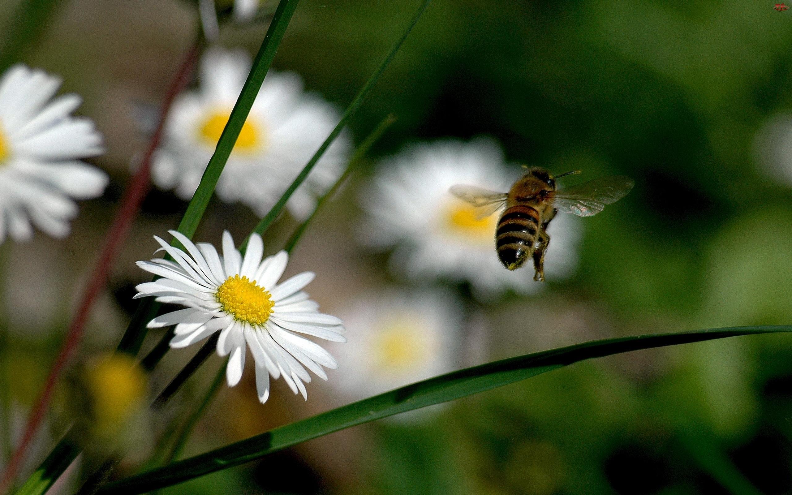 Pszczoła, Stokrotki