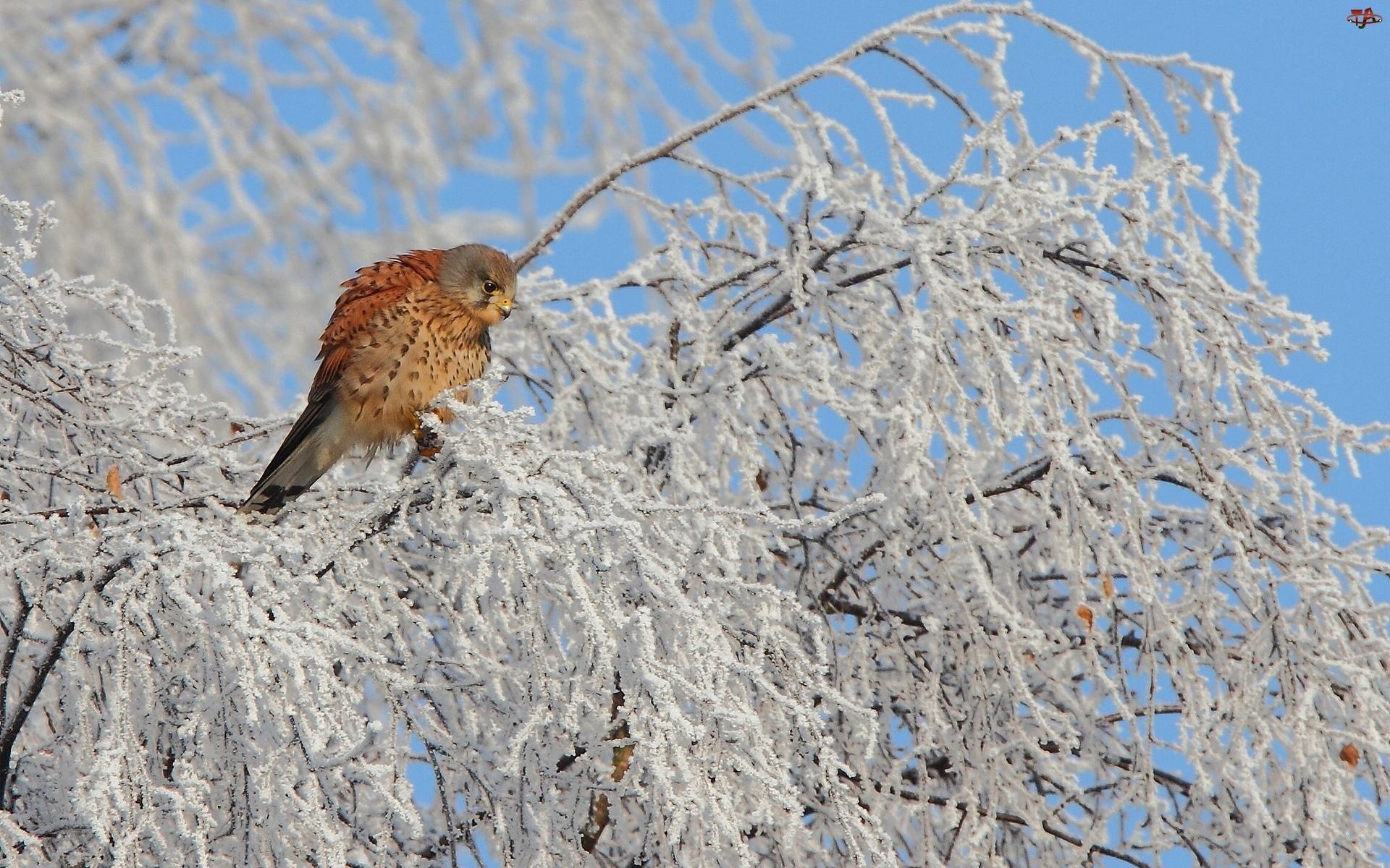 Ptak, Drzewo, Pustułka, Zima