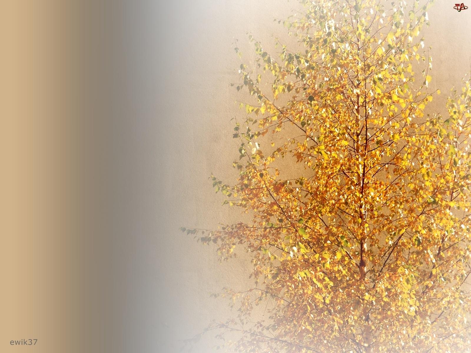 Drzewo, Barwy, Brzoza, Jesienne