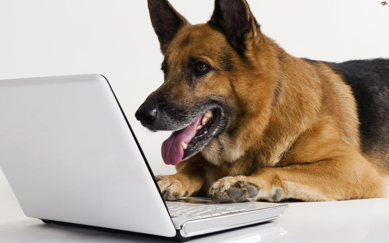 Piesek, Laptop, Owczarek, Niemiecki