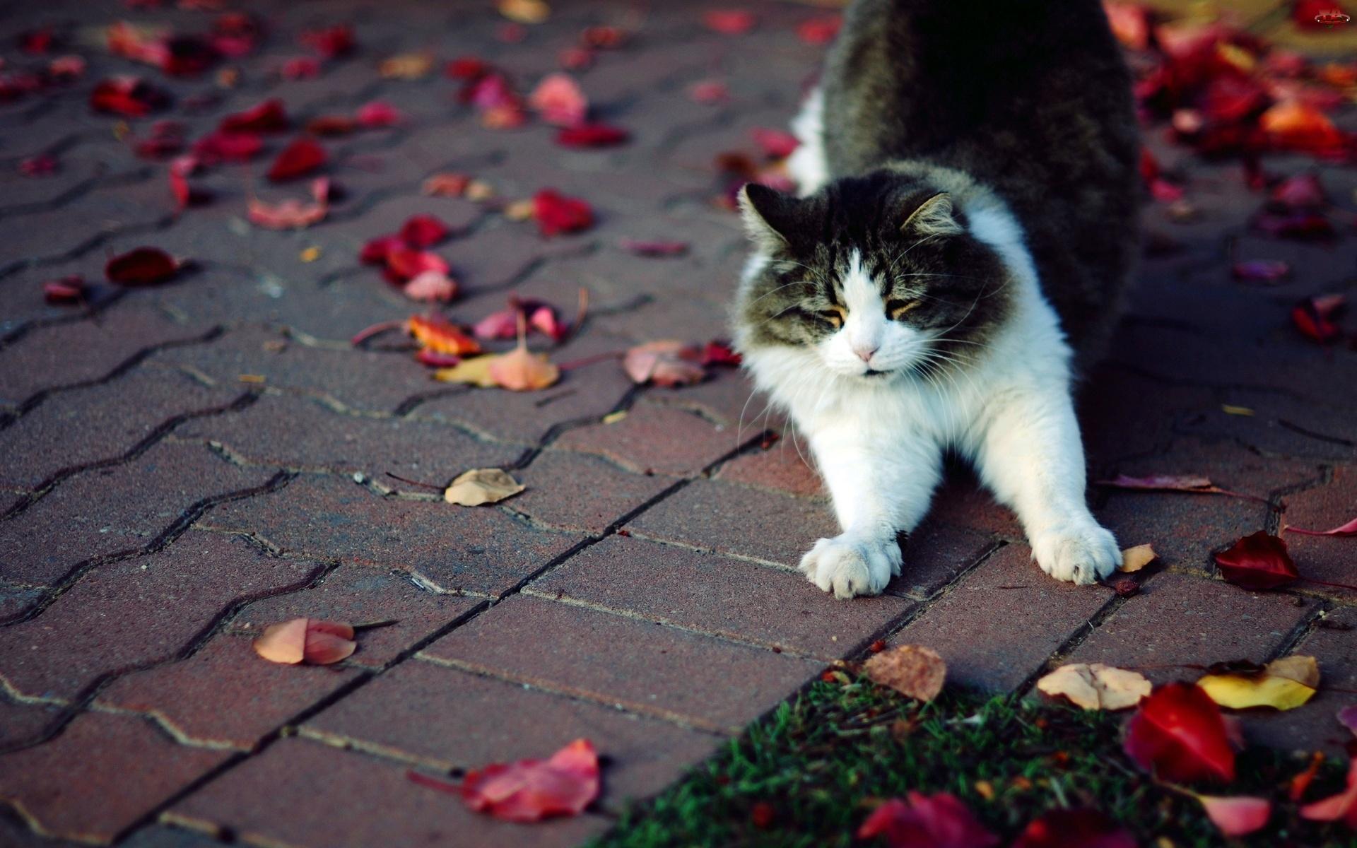 Spacerujący, Liście, Kot, Jesienne