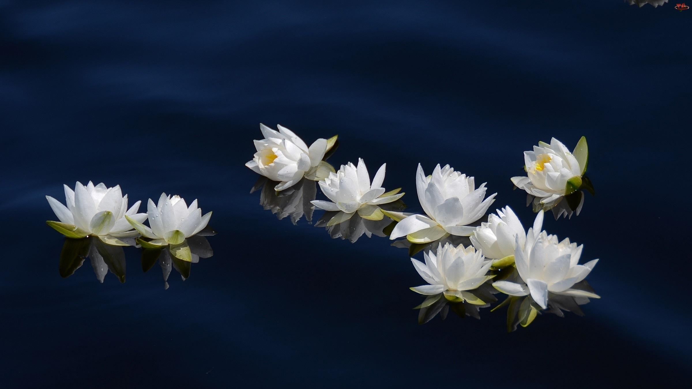 Lilie, Odbicie, Wodne, Woda